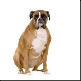 Most Inspiring Boxer Chubby Adorable Dog - boxer-obese-thumb  Pic_37682  .jpg?w\u003d260\u0026h\u003d260