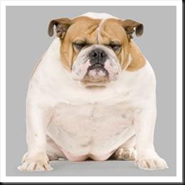 Popular Look Alike Chubby Adorable Dog - fatbulldog-thumb  2018_104270  .jpg?w\u003d260\u0026h\u003d260