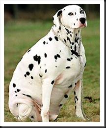 fat-dalmatian