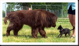 newfoundland-bear